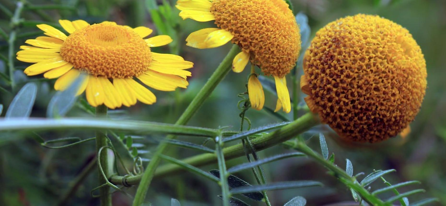 Хризантема посевная, полевая - Chrysanthemum segetumL.