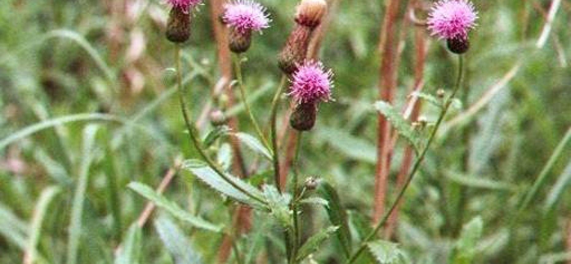 Бодяк полевой - Cirsium arvense (L.) Scop.