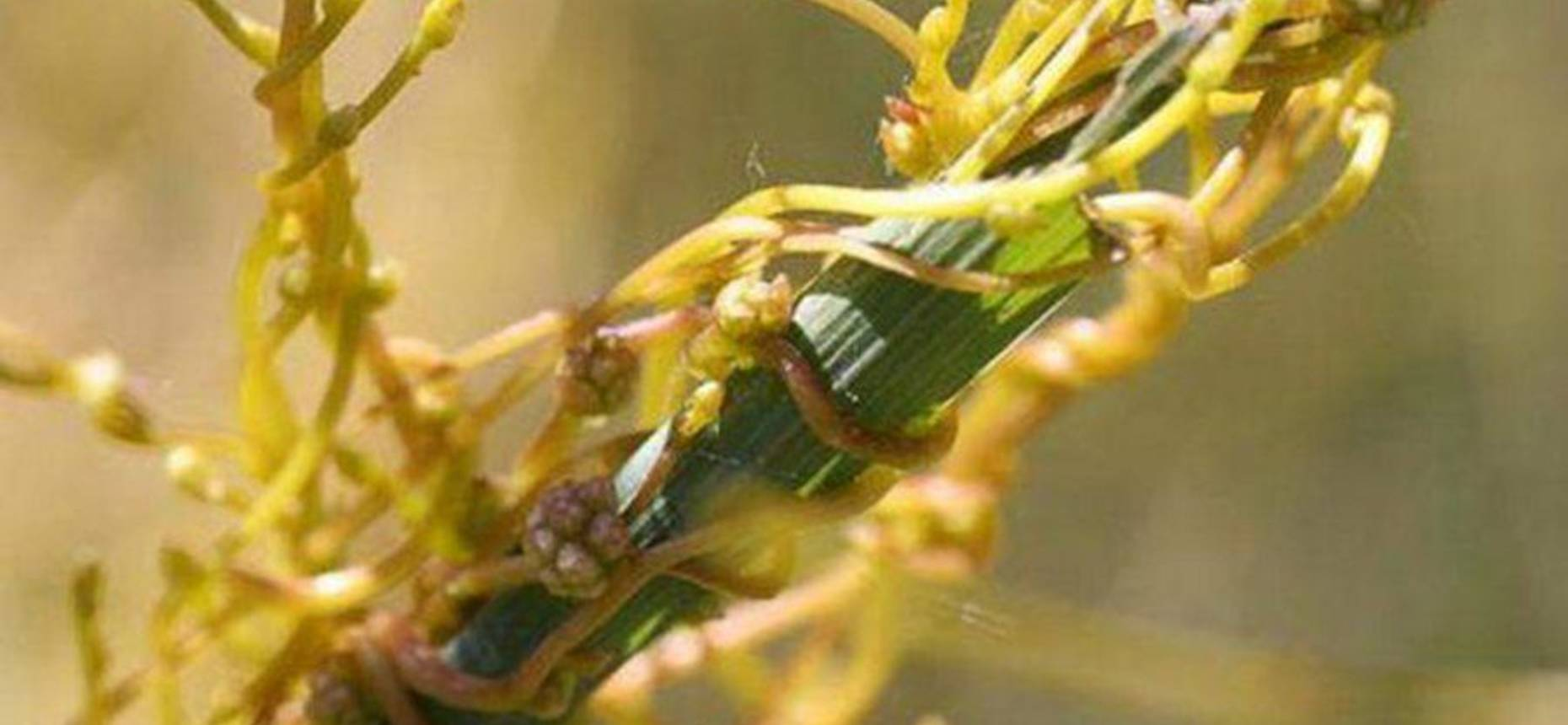 Cuscuta epilinum Weihe. - Повилика льняная