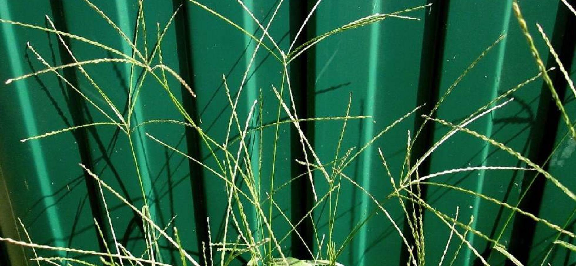 Digitaria sanguinalis (L.) Scop. - Росичка кроваво-красная