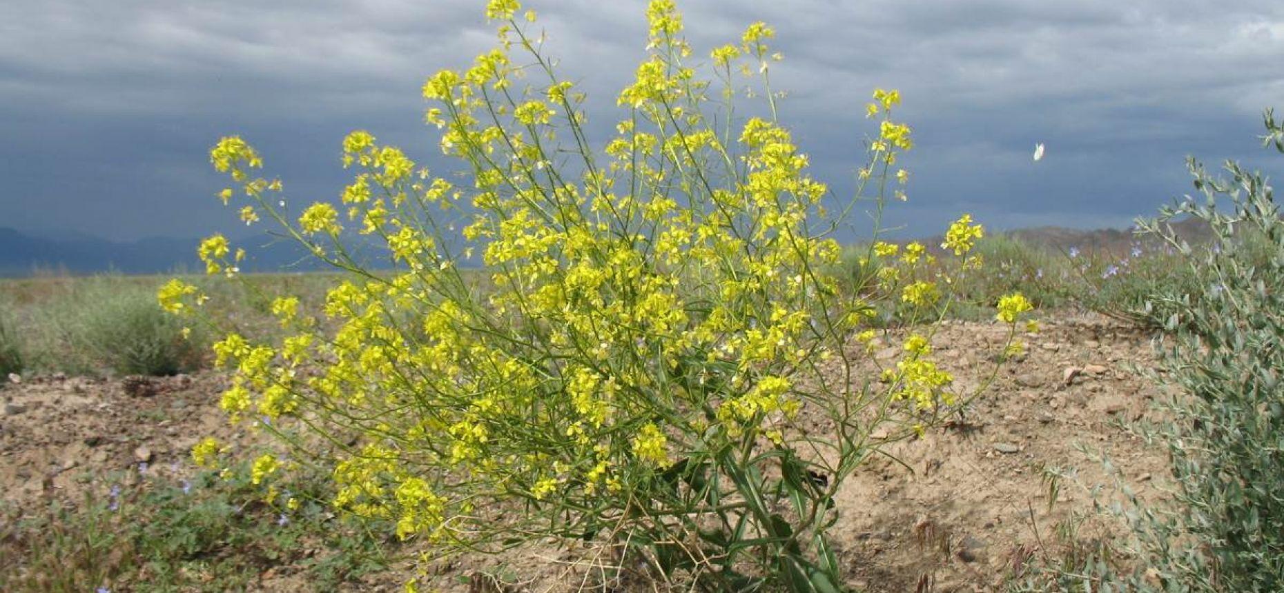 Erucastrum armoracioides (Czern. ex Turcz.) Cruchet. - Рогачка хреновидная