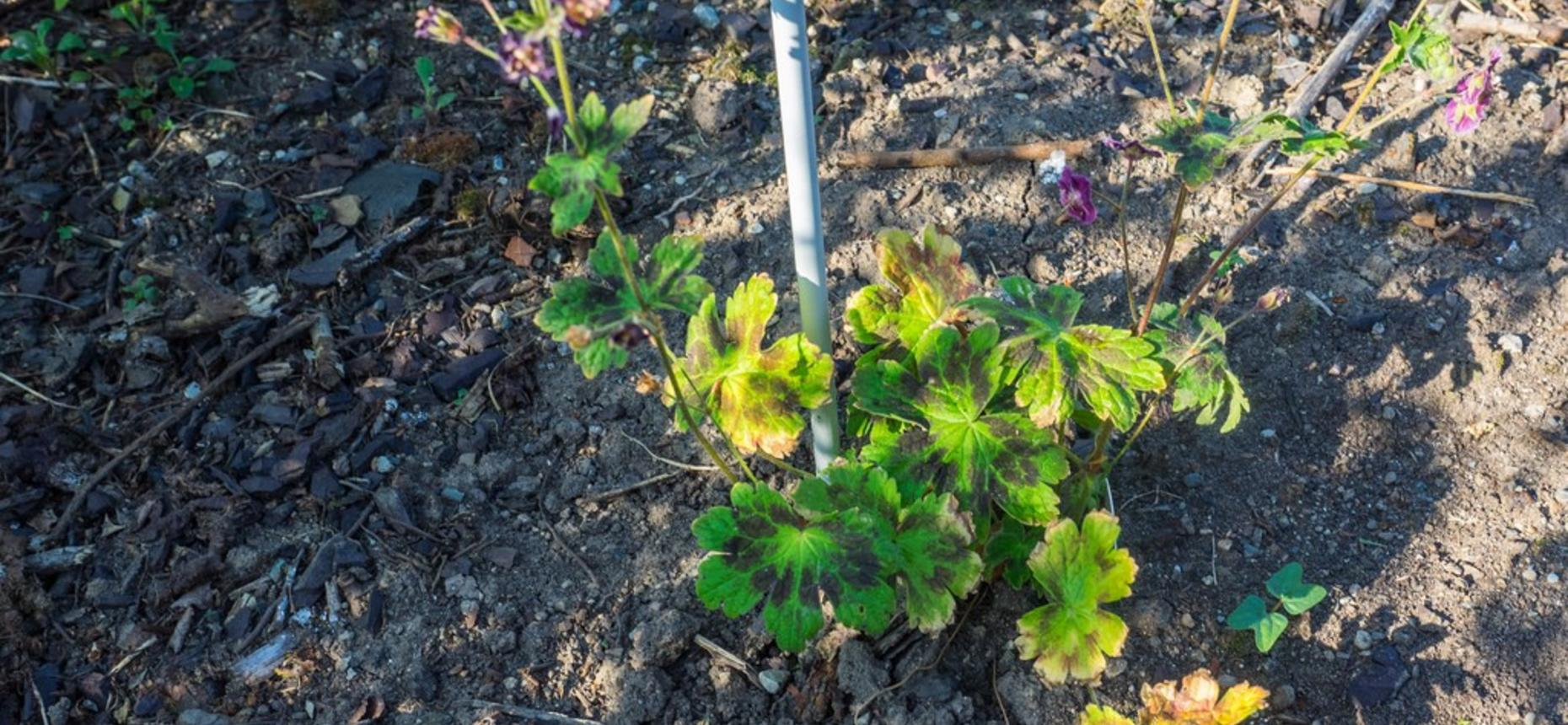 Герань красно-бурая, тёмно-бурая - Geranium phaeumL.