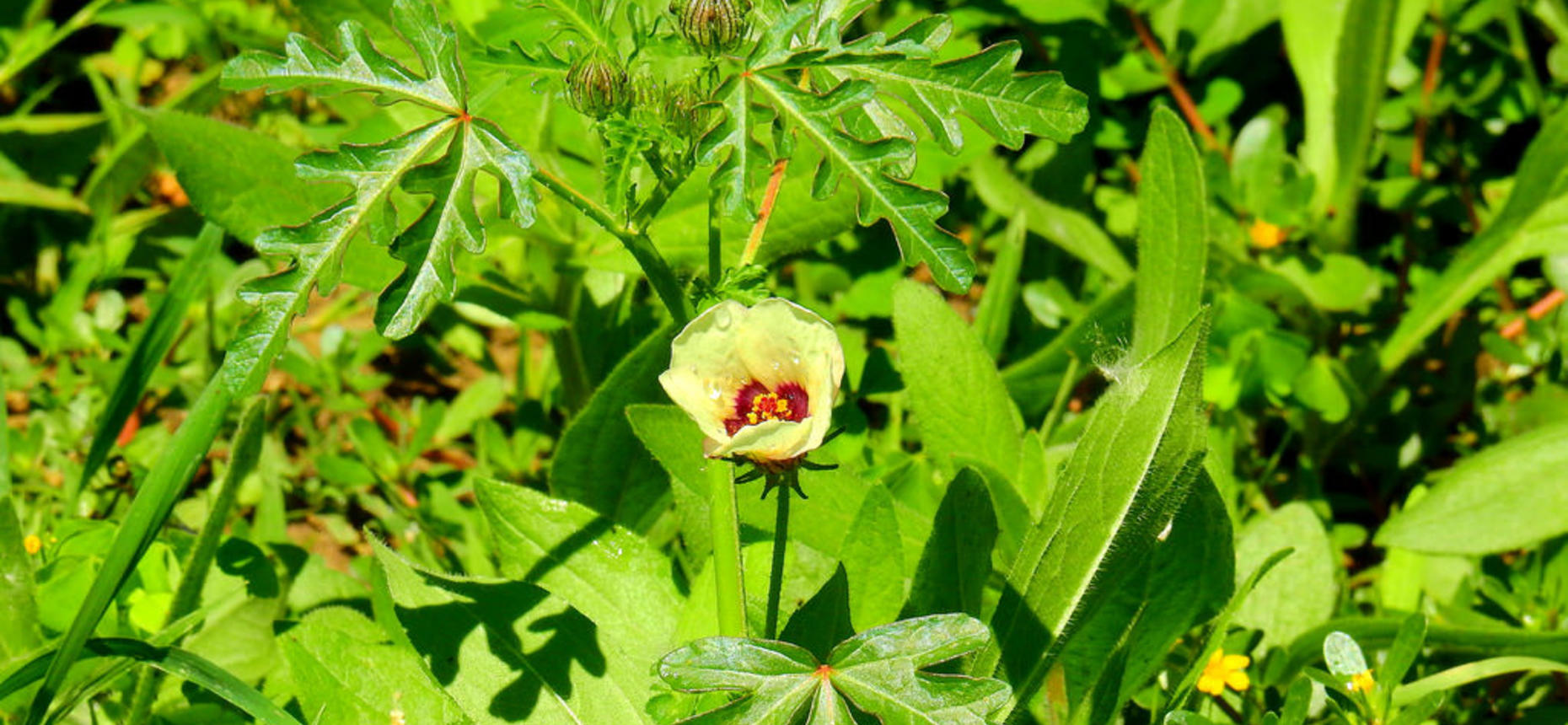 Hibiscus trionum L. - Гибискус тройчатый, вздутый