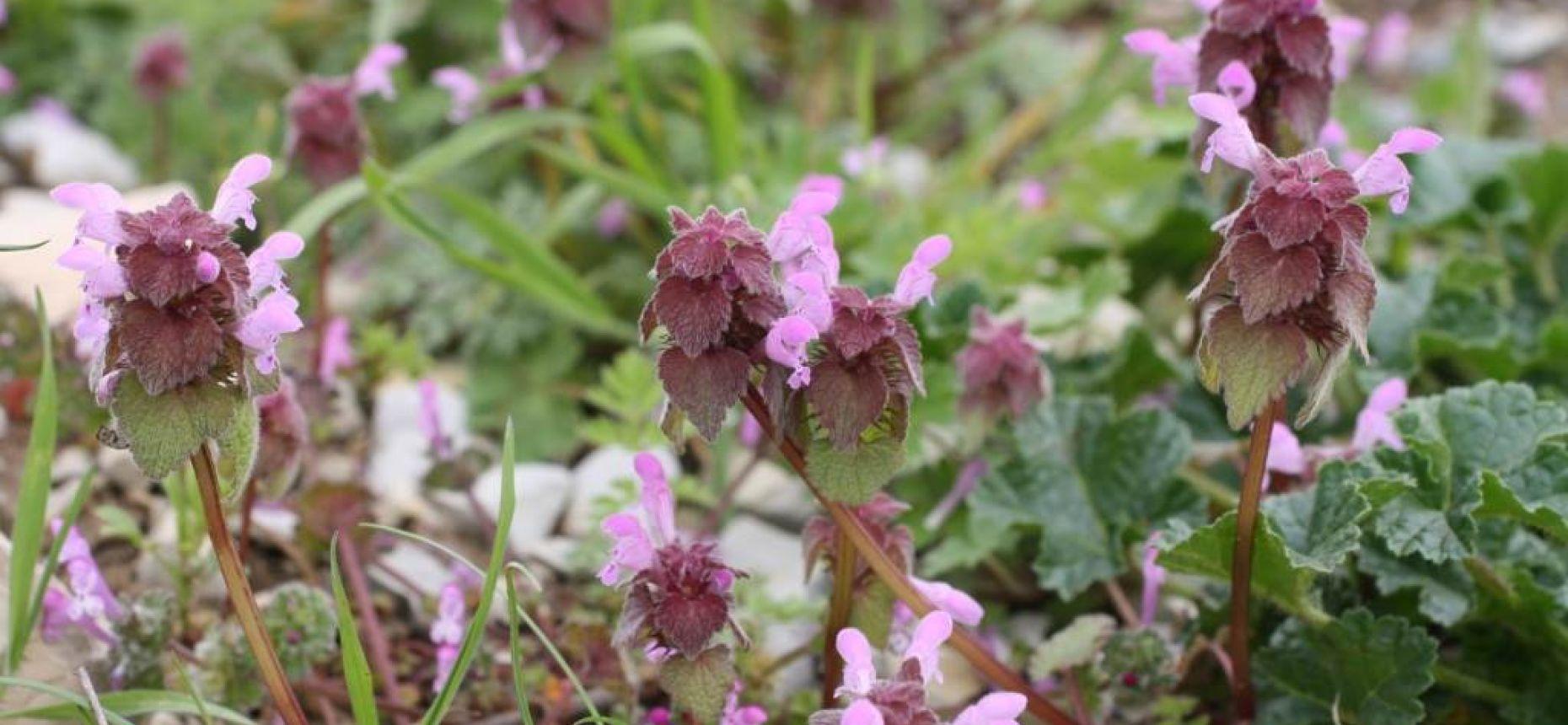 Lamium purpureum L. - Яснотка пурпурная