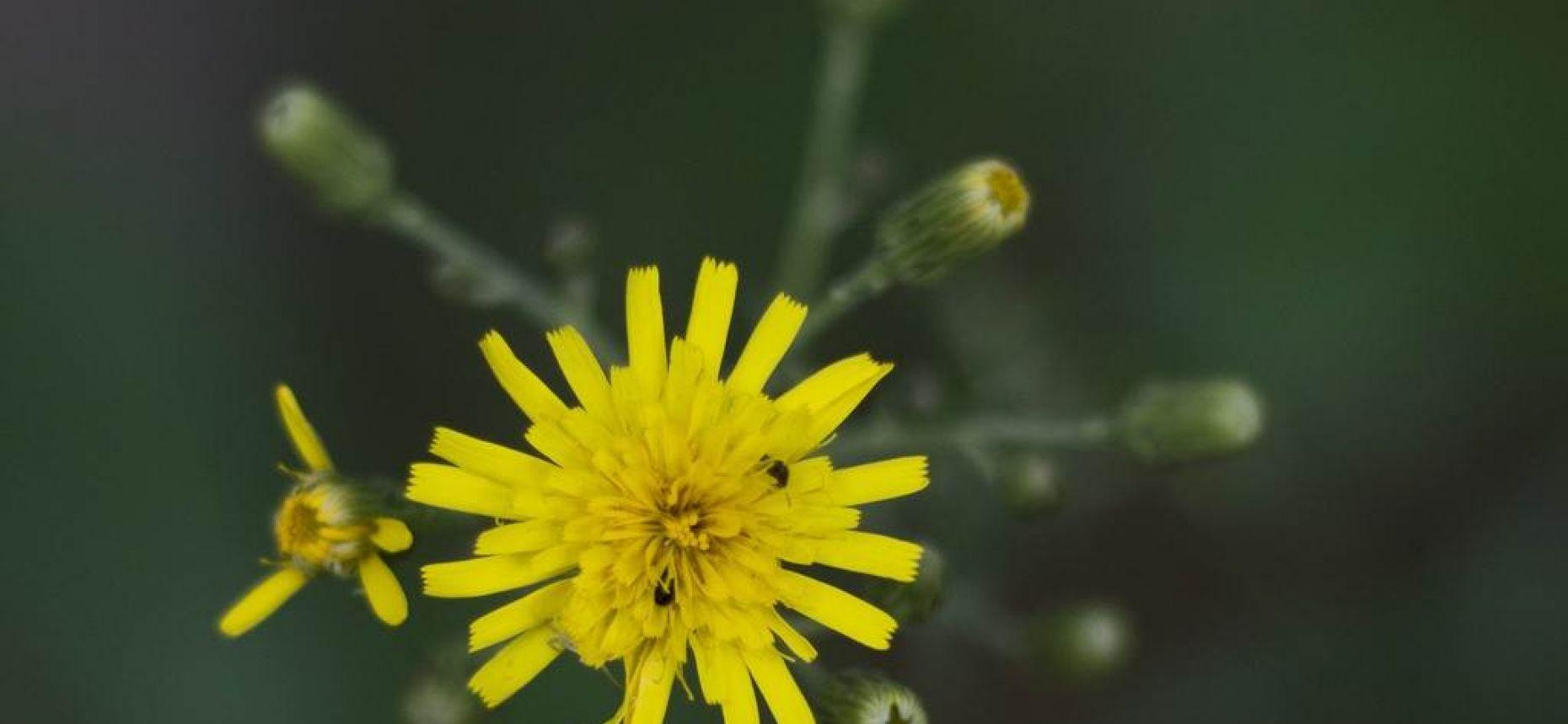 Кульбаба осенняя - Leontodon autumnalis L.