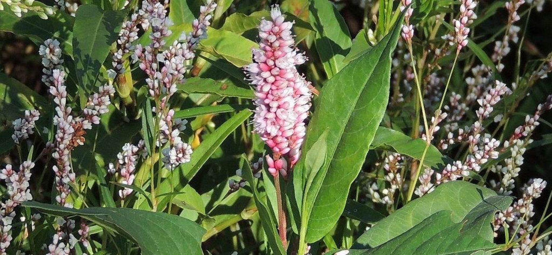 Горец земноводный, Щучья трава  - Persicariaamphibia(L.) Delarbre