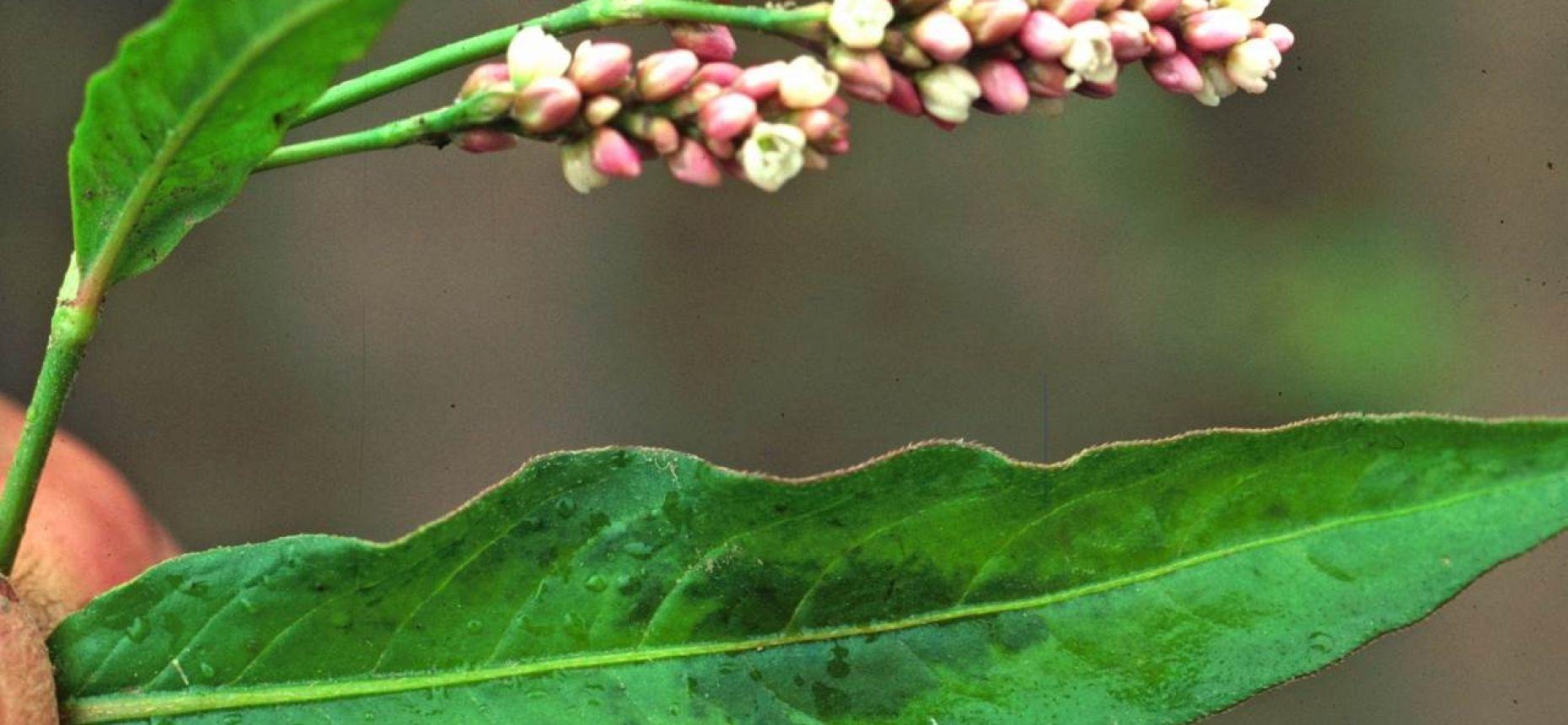Горец почечуйный, Почечуйная трава, Персикария пятнистая - Persicaria maculosa S.F. Gray