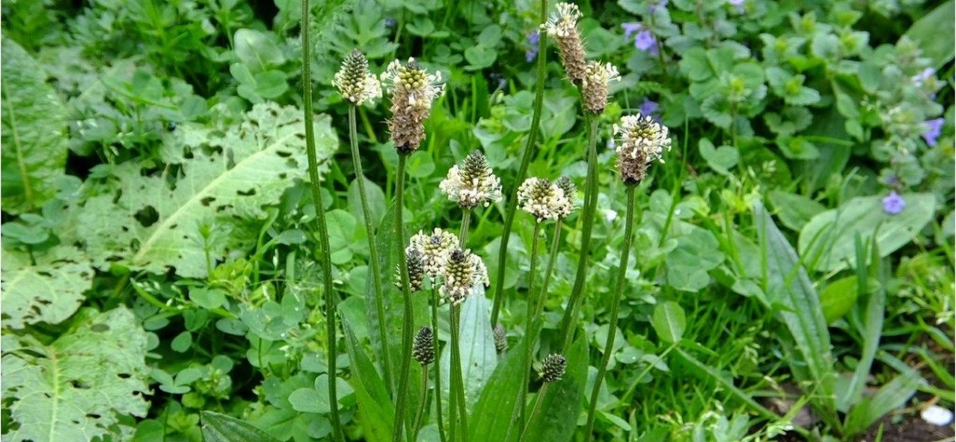 Plantago lanceolata L. - Подорожник ланцетолистный, ланцетовидный