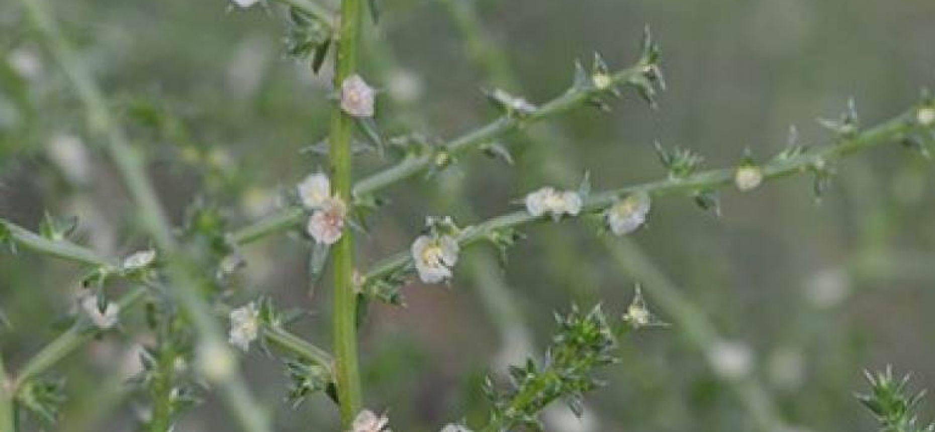 Солянка южная - Salsola australis R.Br.