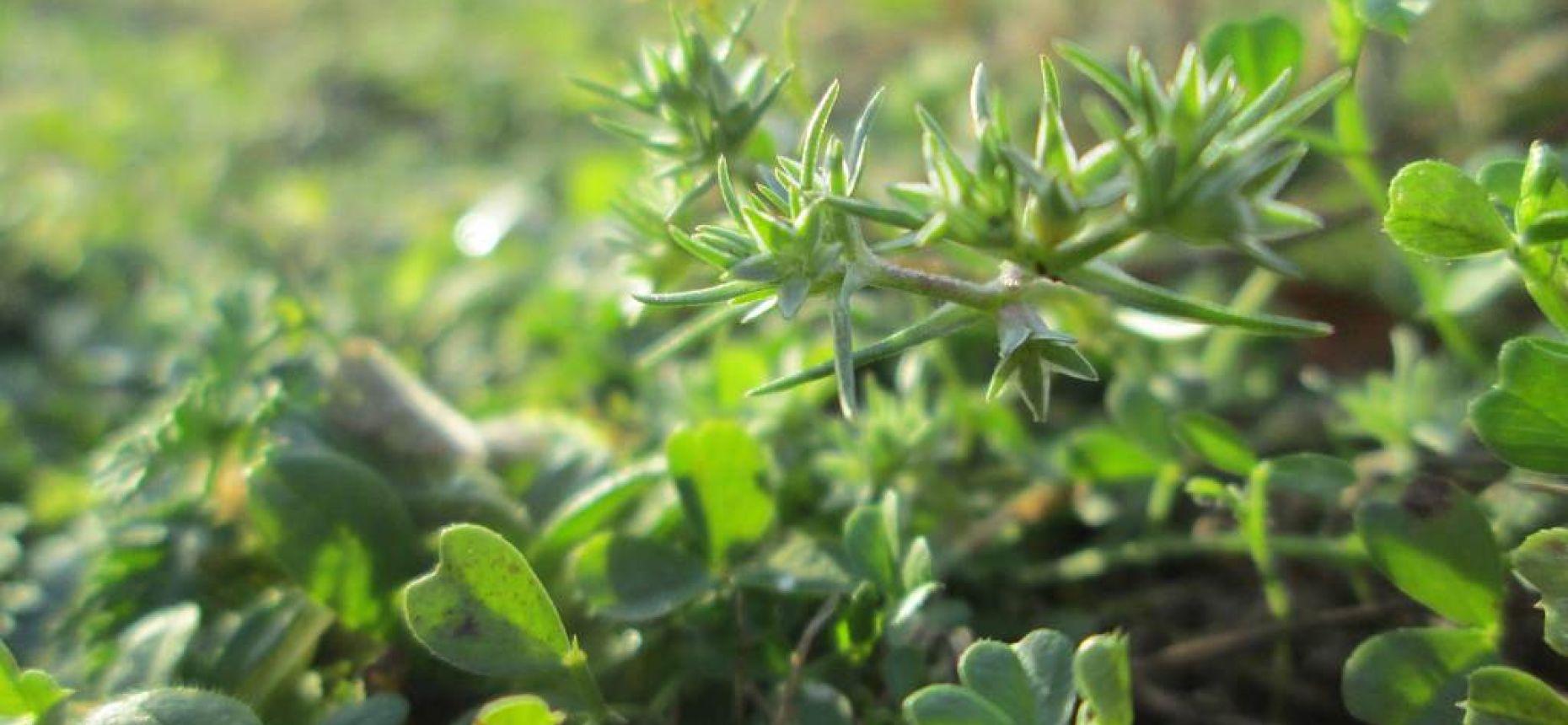 Scleranthus annuus L. - Дивала однолетняя