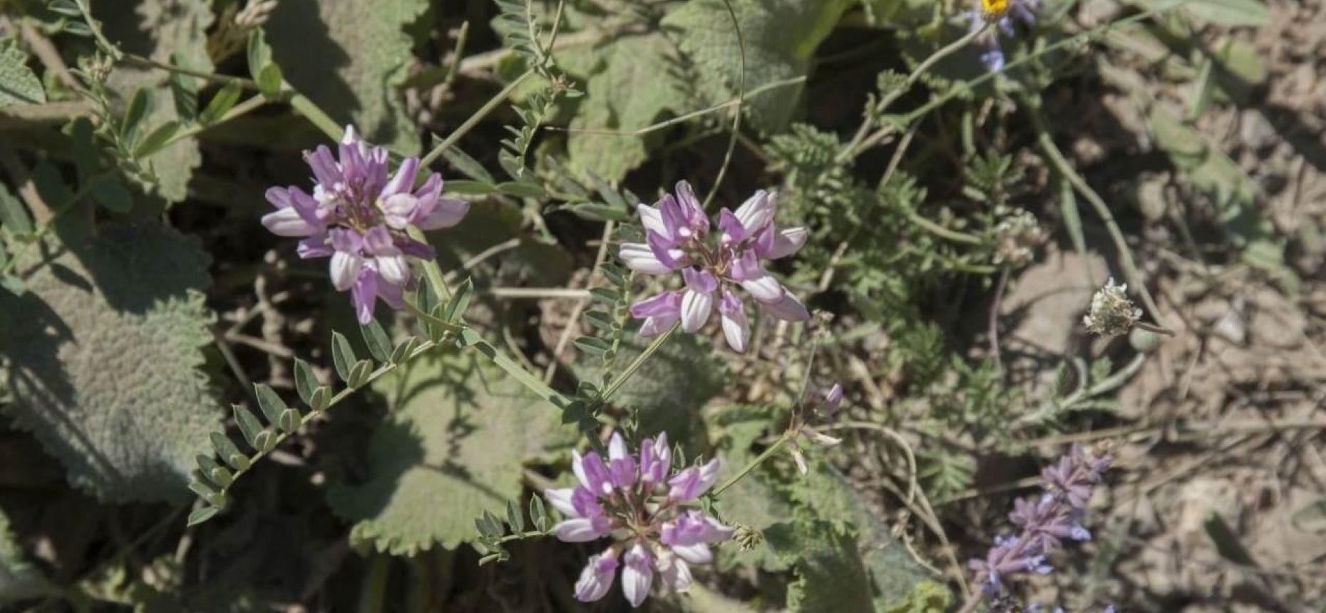 Securigera varia (L.) Lassen. - Секироплодник пестрый, вязель пестрый