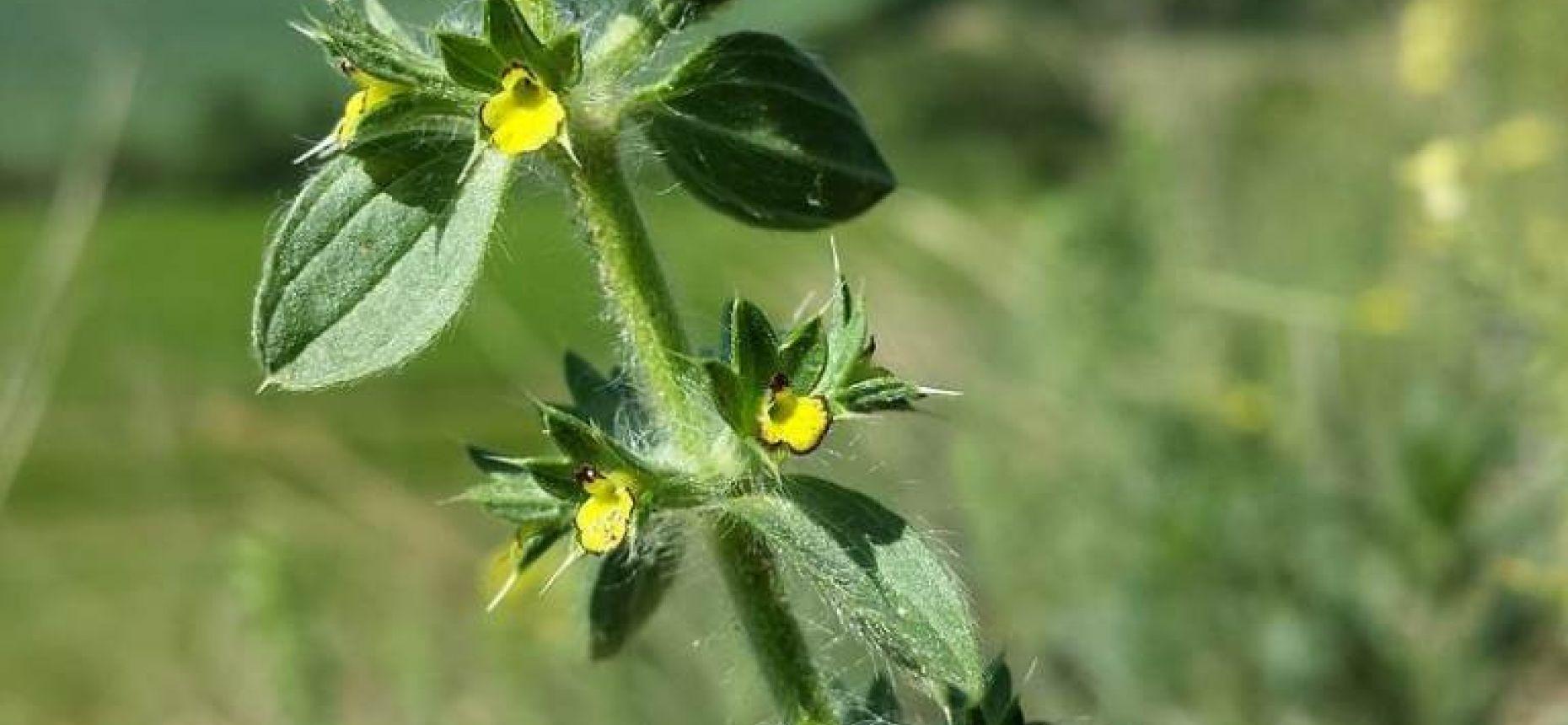 Sideritis montana L. - Железница горная
