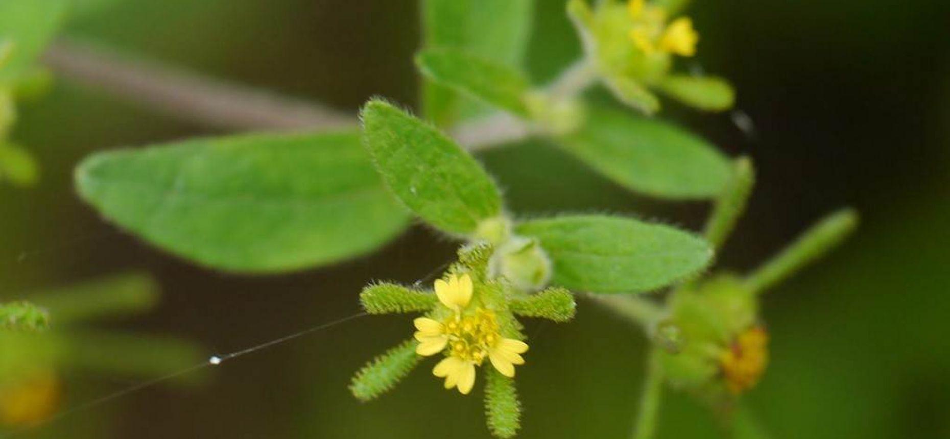 Сигезбекия восточная - Sigesbeckia orientalis L.