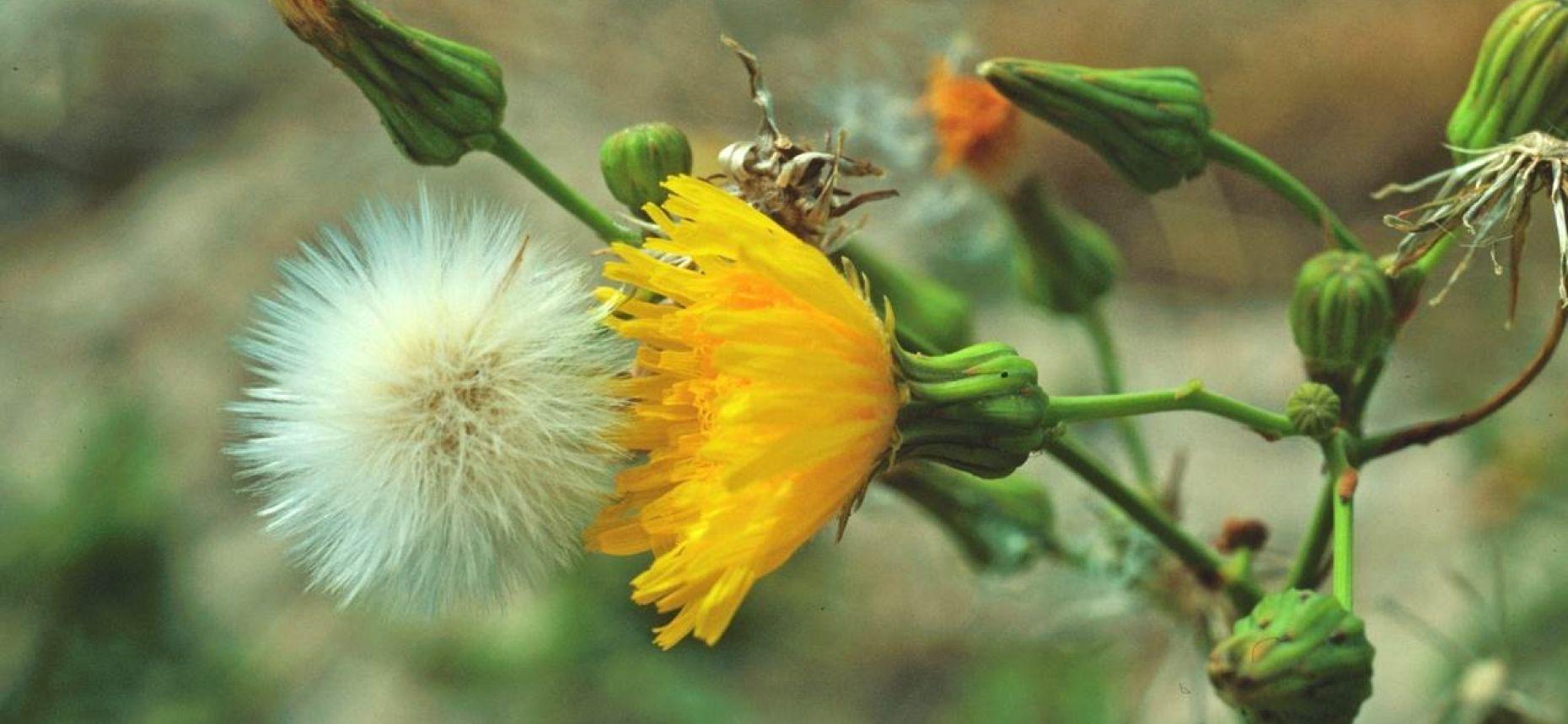Осот полевой, осот желтый, осот молочайный - SonchusarvensisL.