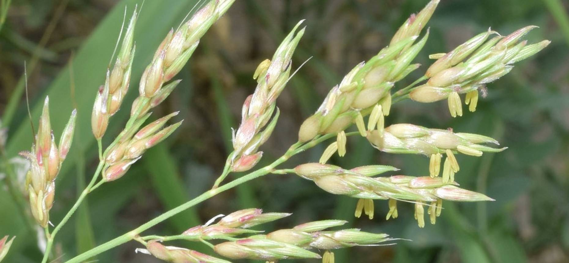 Sorghum halepense (L.) Pers. - Сорго алеппское, Джонсова трава, Гумай