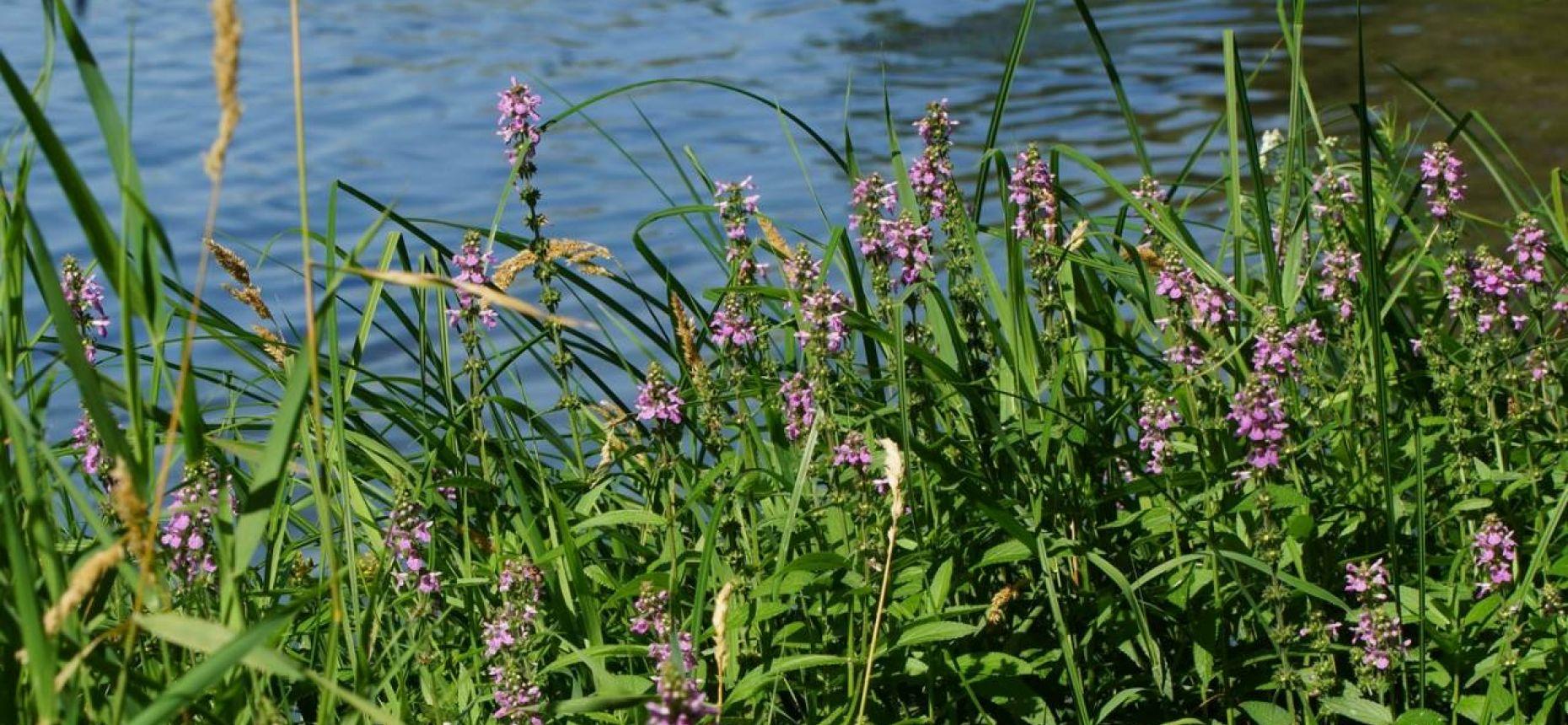 Stachys palustris L. - Чистец болотный.