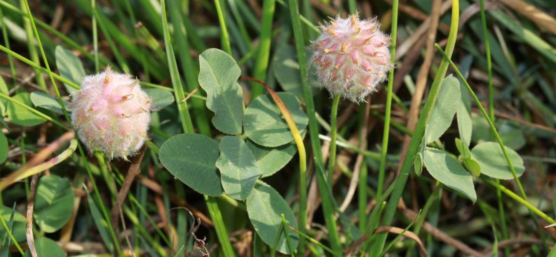Клевер земляничный - TrifoliumfragiferumL.