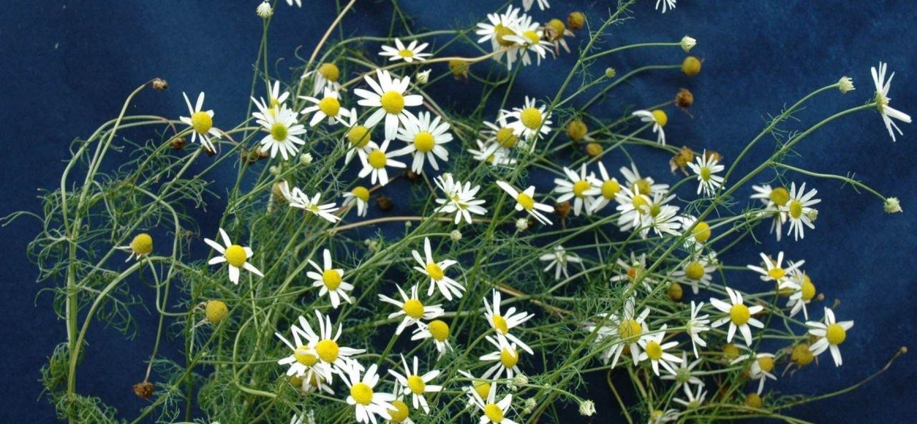 Трехреберник непахучий, триплеуроспермум продырявленный, ромашка непахучая - Tripleurospermum inodorum (L.) Sch. Bip.