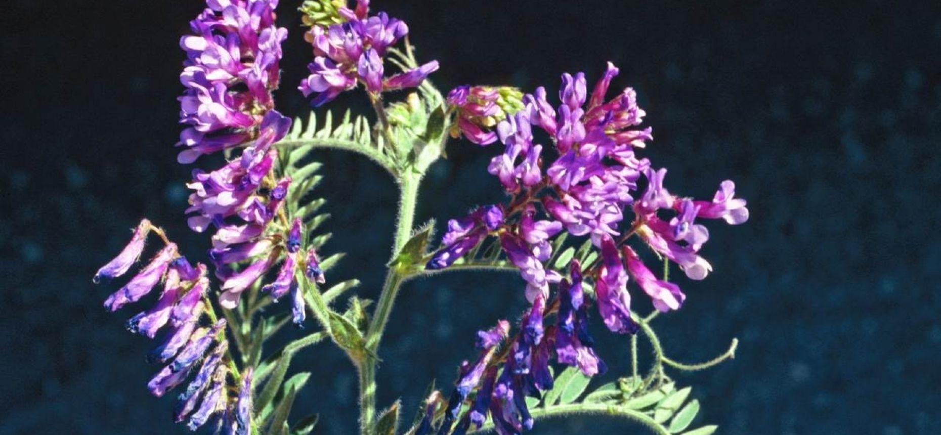 Горошек мохнатый, Вика мохнатая - Vicia villosa Roth