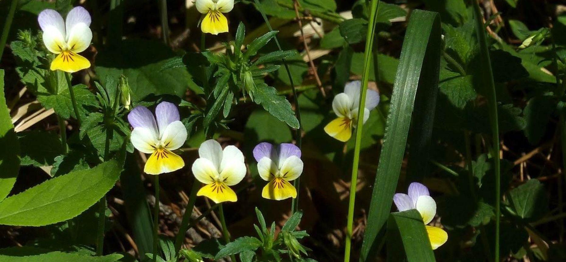 Viola tricolor L. - Фиалка трехцветная, анютины глазки