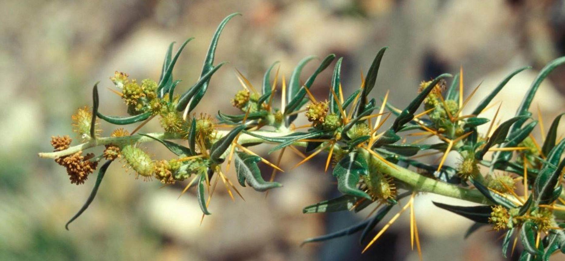 Дурнишник колючий - XanthiumspinosumL.