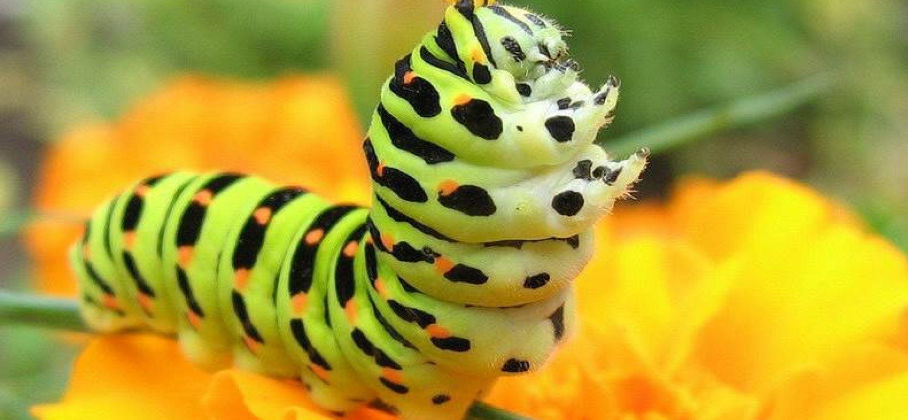 Мускулистые гусеницы