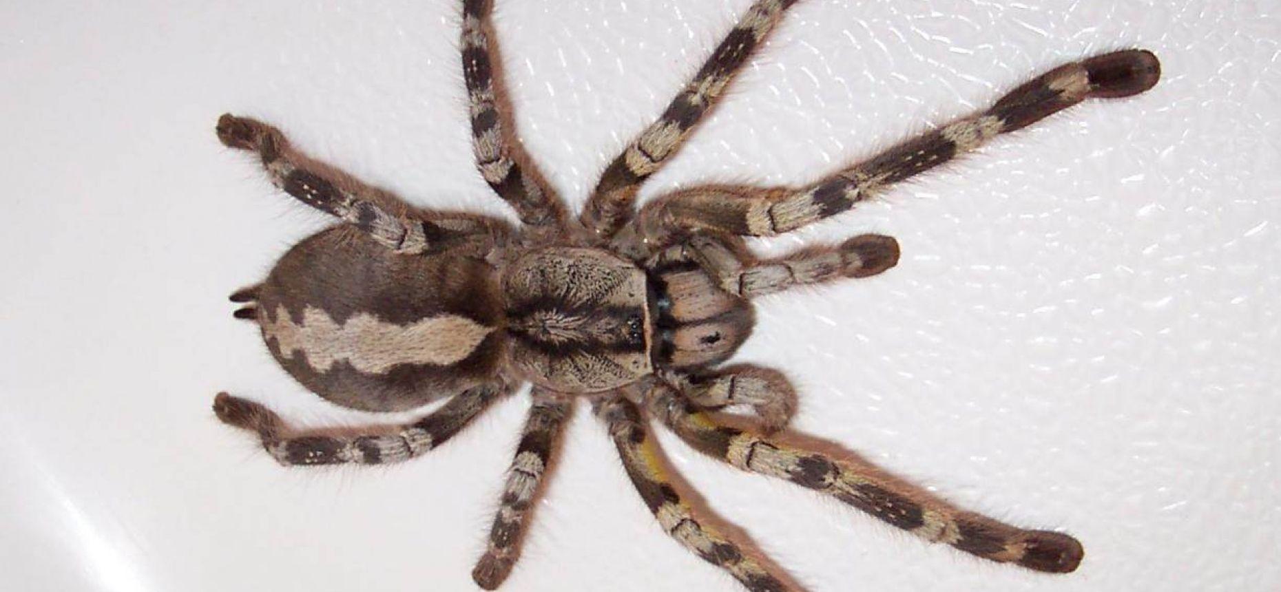 У пауков имеется способность превращать жидкий шелк, который вырабатывается внутри их тел, в твердые нити. Пауки делают это с помощью особых прядильных органов, которые находятся у них на животах. Через них пропускается шелк, который, в конечном итоге, превращается в длинную нить для строительства паутины. Когда нить готова, паук поднимает свои прядильные органы и ловит порыв ветра. Именно легкий ветерок является помощником для паука, который хочет натянуть паутину с одного дерева до другого.