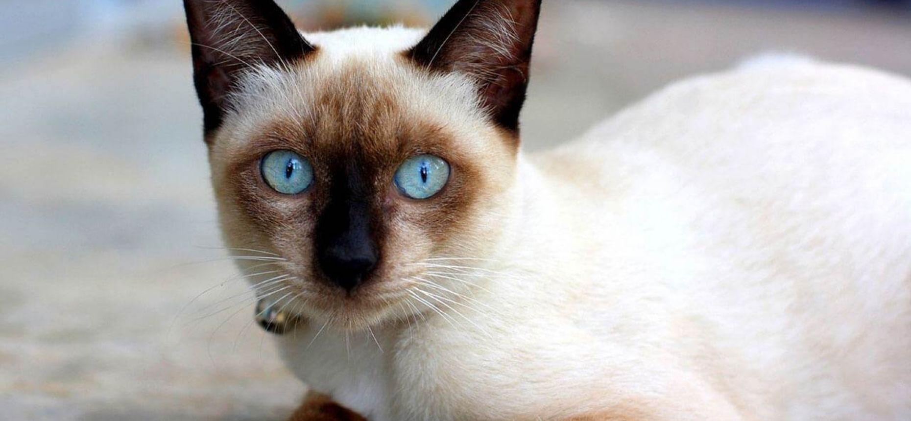 Окрас подпалин на шерсти сиамских кошек зависит от окружающей температуры: чем холоднее район, тем темнее пятна на шерсти. Именно поэтому сиамские котята рождаются белыми: тепла в утробе их мамы достаточно, чтобы шерсть не темнела.