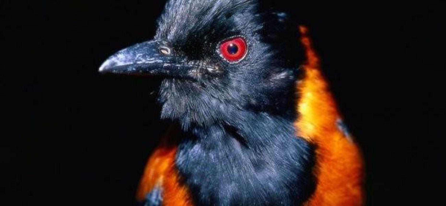 Ядовитая птица - питаху