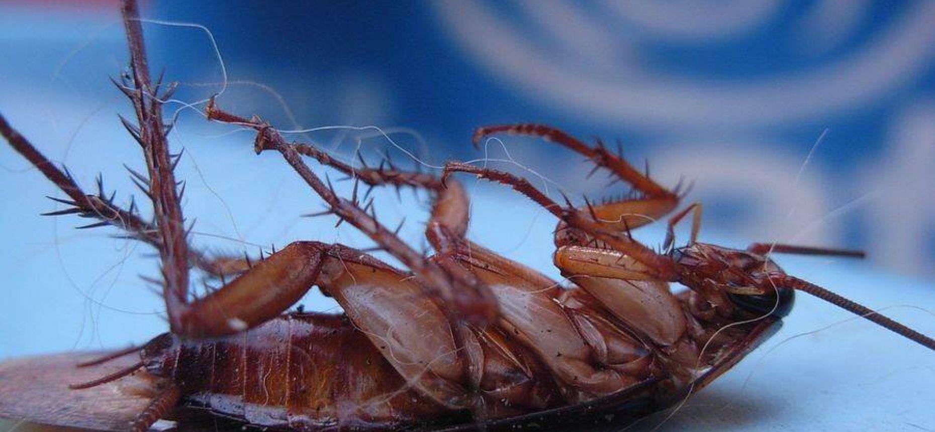 Тараканы умирают на спине