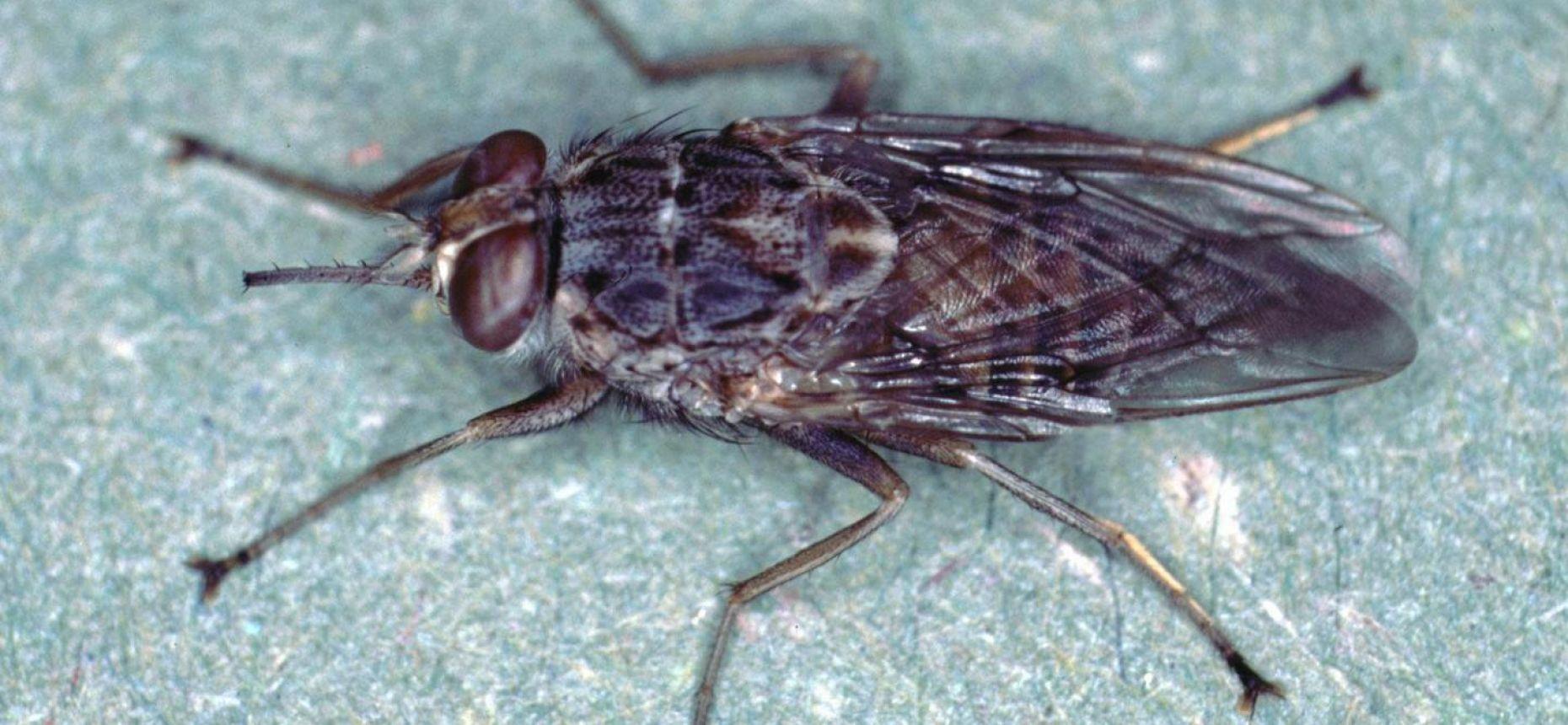 На острове Занзибар истребили муху цеце