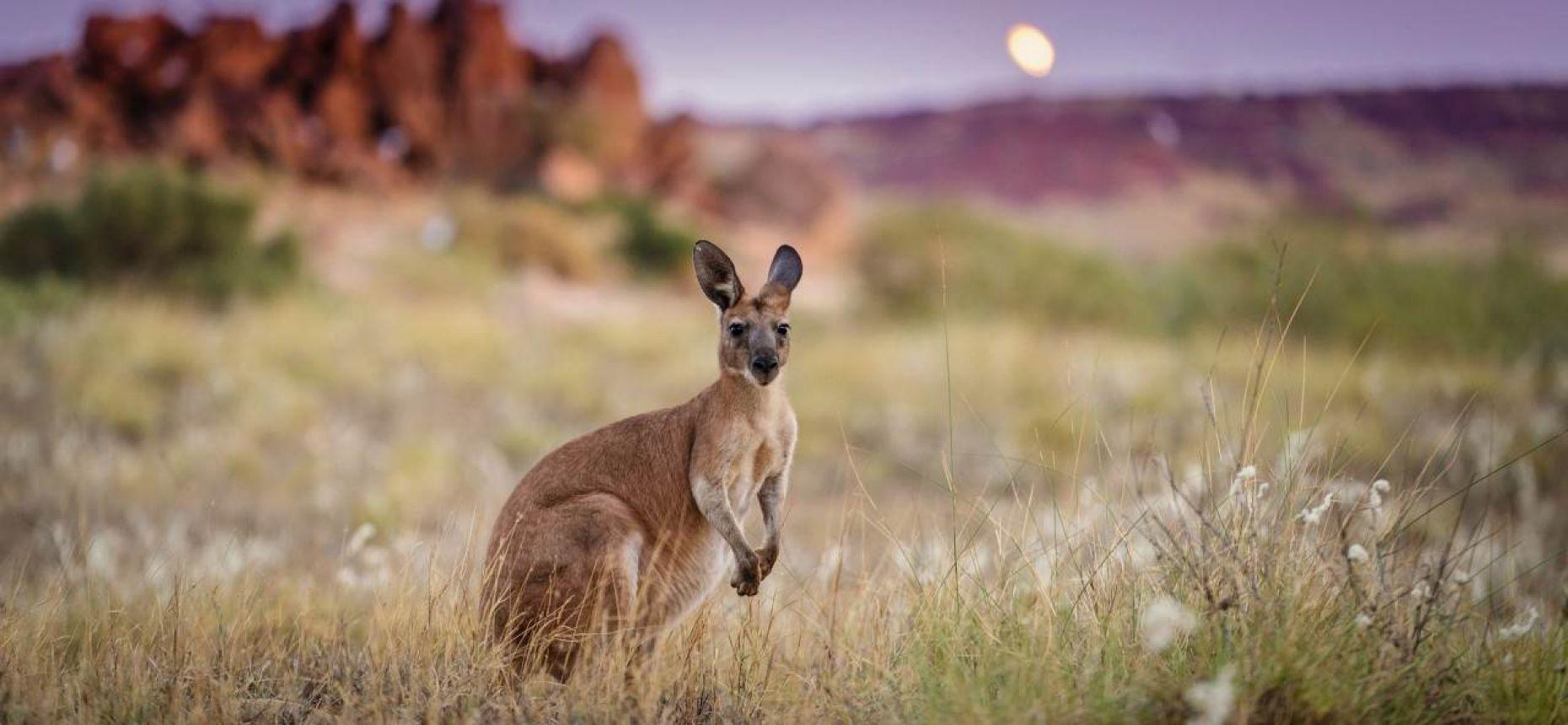 Миф о названии кенгуру