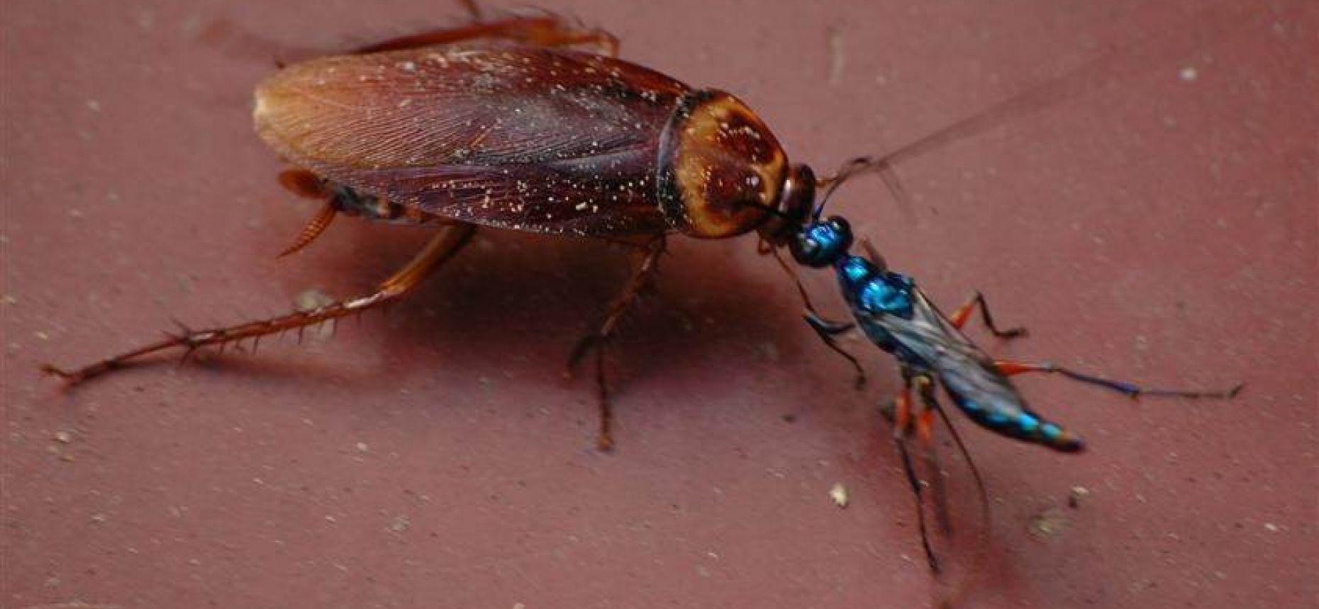 Насекомые охотятся на тараканов путём их зомбирования