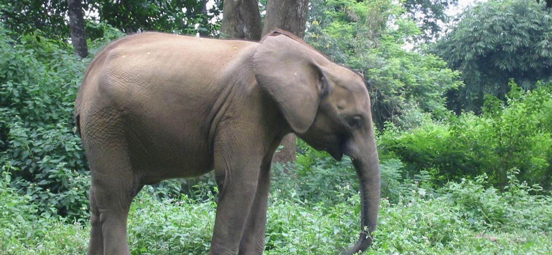 Виды африканских слонов