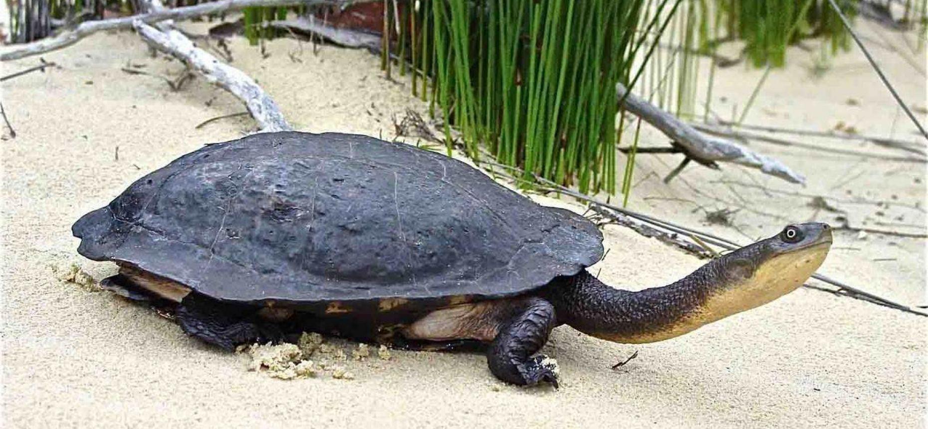 Представители этого вида черепах обитают в основном на востоке Австралии и хорошо адаптируются к жизни в аквариуме. Взрослые особи достигают размера до 30 сантиметров. Этот вид черепах не умеет втягивать голову, а укладывает ее сбоку. Мясо змеиношеей черепахи считается деликатесом.