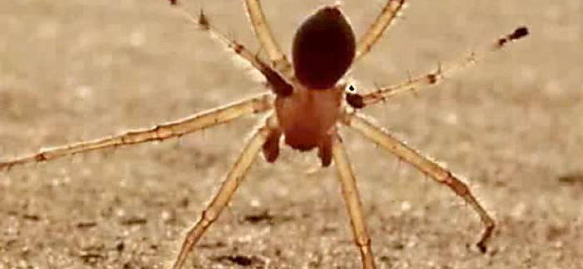 Пауки, способные передвигаться наподобие выполняющих сальто акробатов