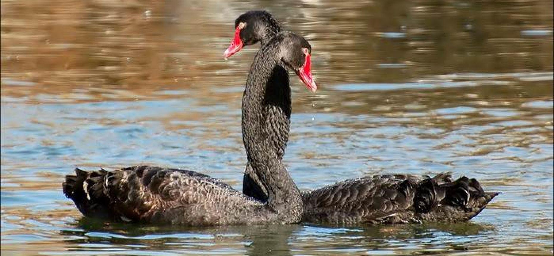 Нетрадиционность черных лебедей