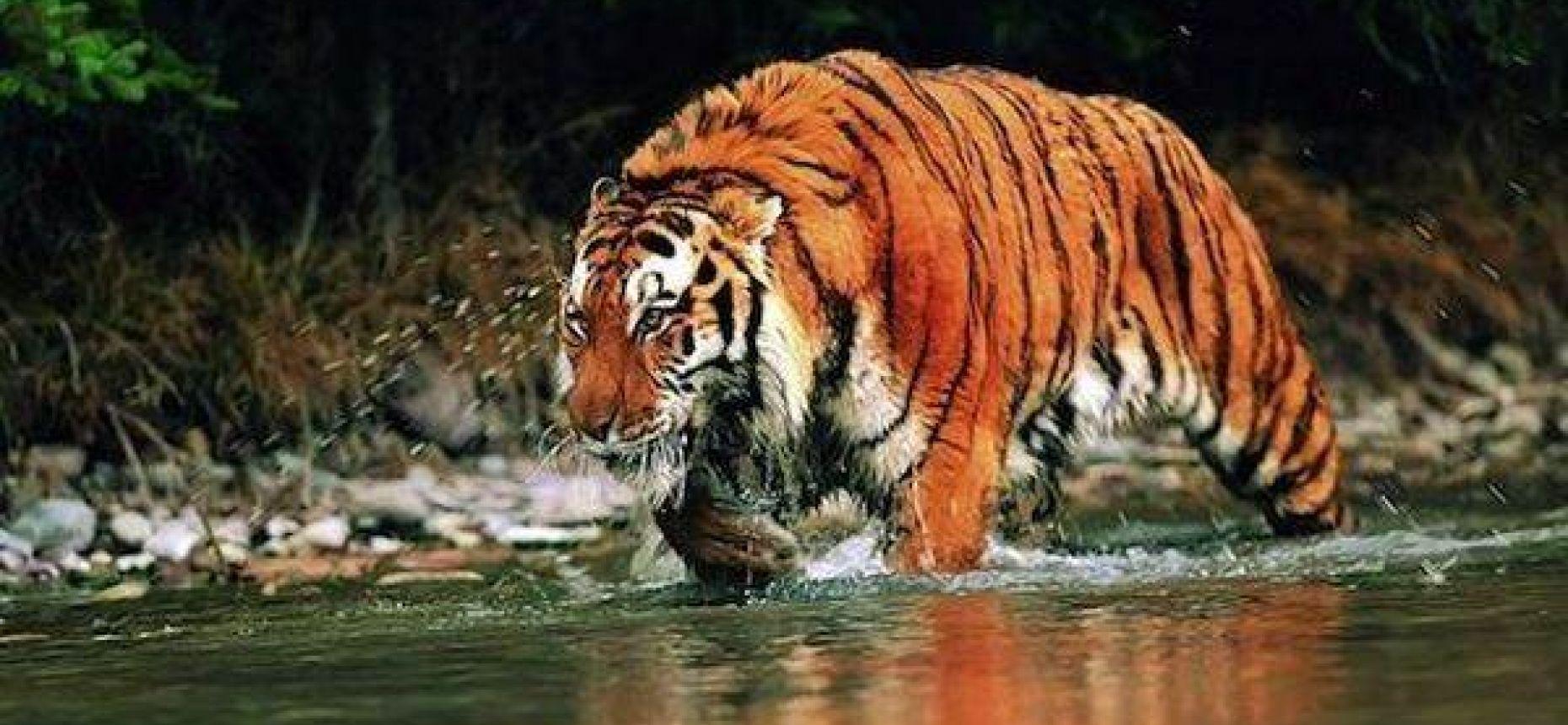 Тигры пловцы