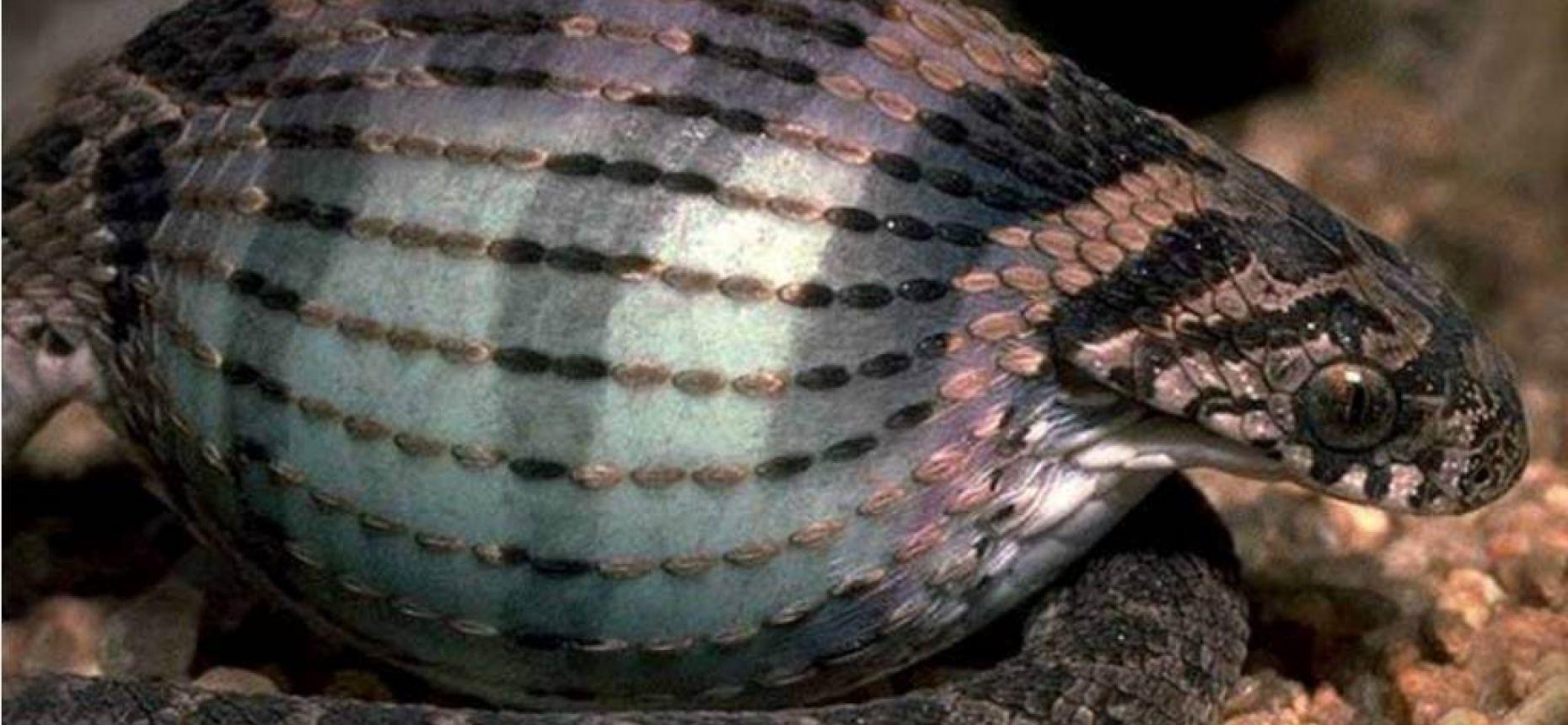 Змея питается птичьими яйцами намного больше себя