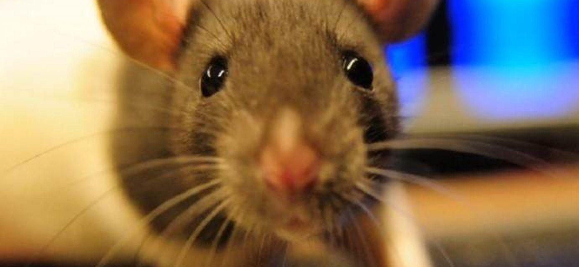 У крысы глаза могут двигаться в разные стороны