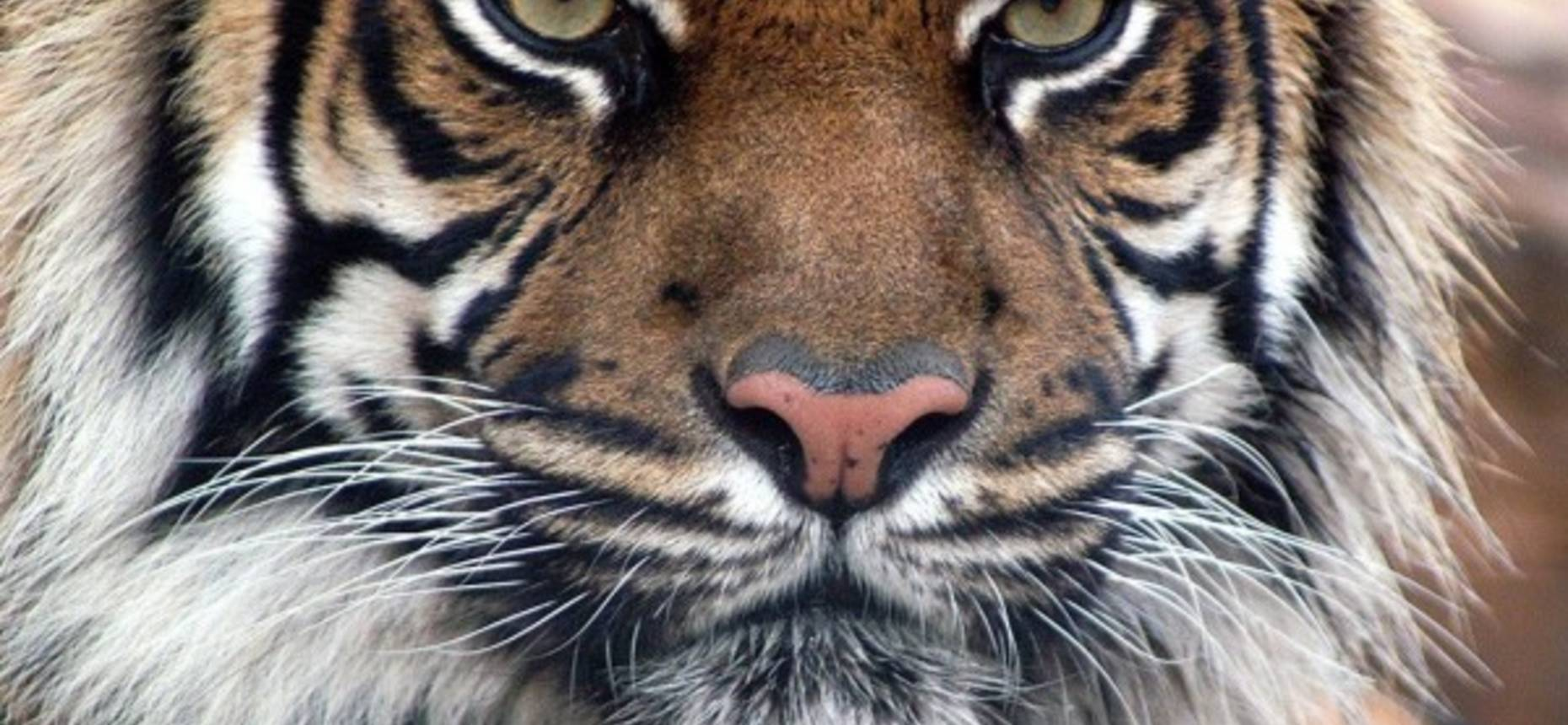 Зрачки тигра