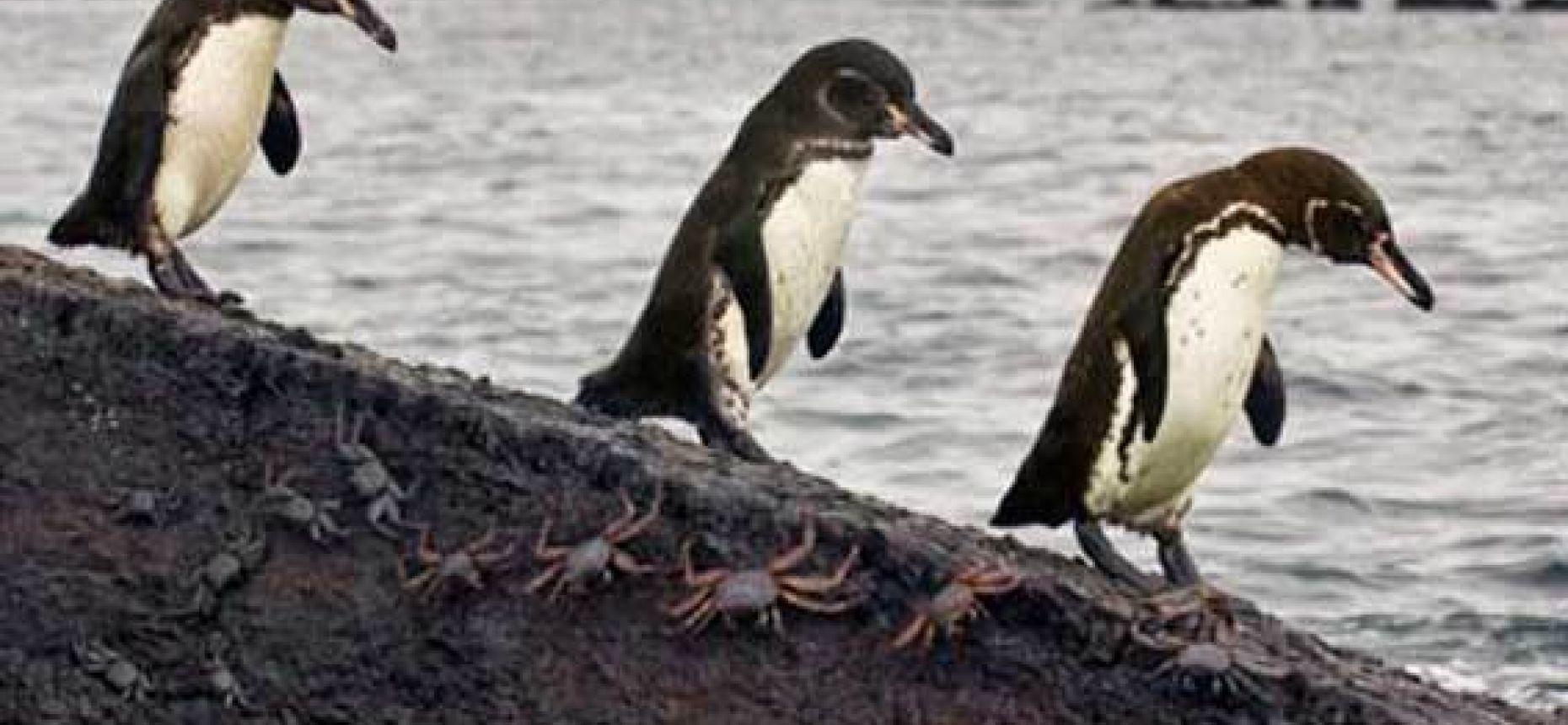 Пингвины, которые живут при температуре выше 20 °C