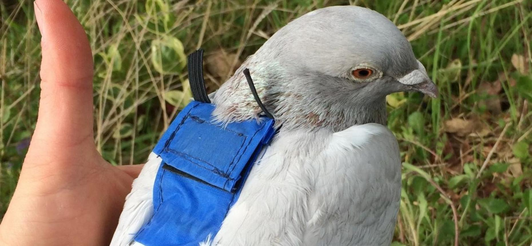 Голуби помогают медикам