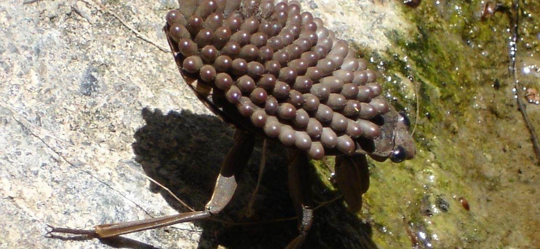 Большой водный жук