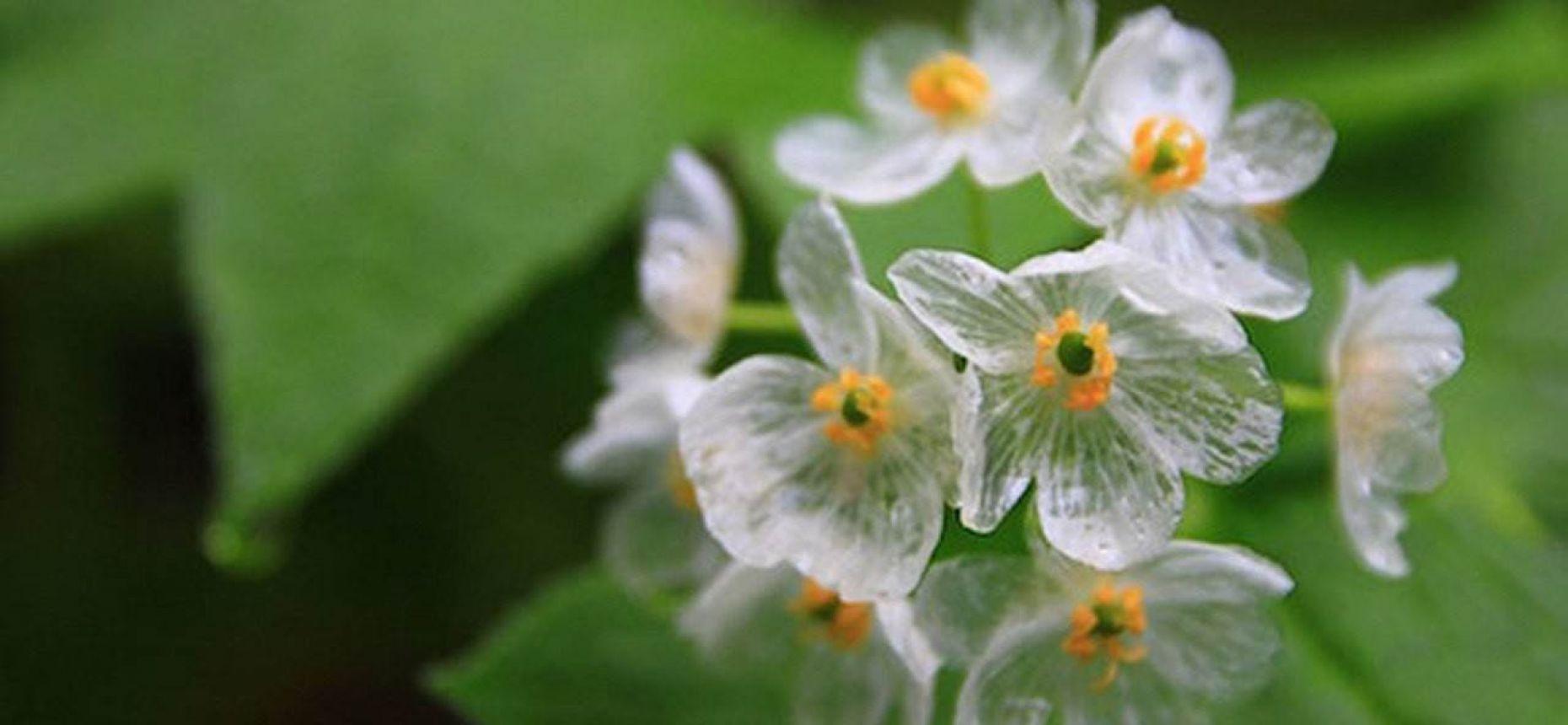 Цветки становятся прозрачными после дождя