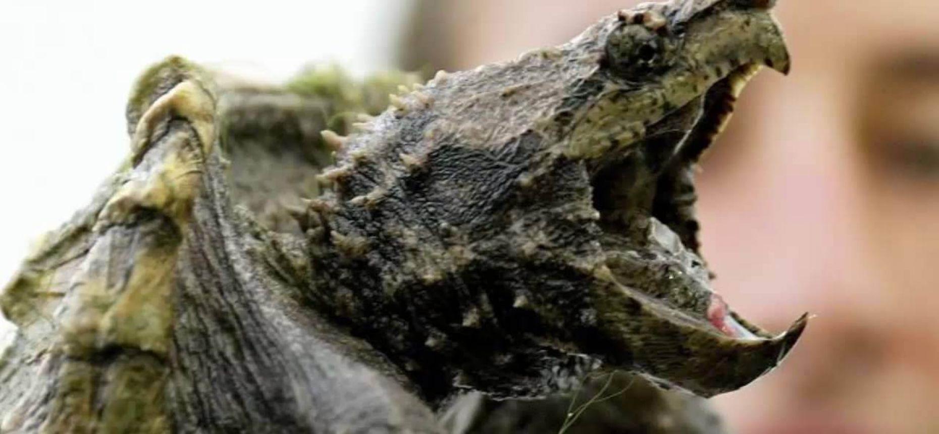 Добыча сама идёт в рот грифовым черепахам
