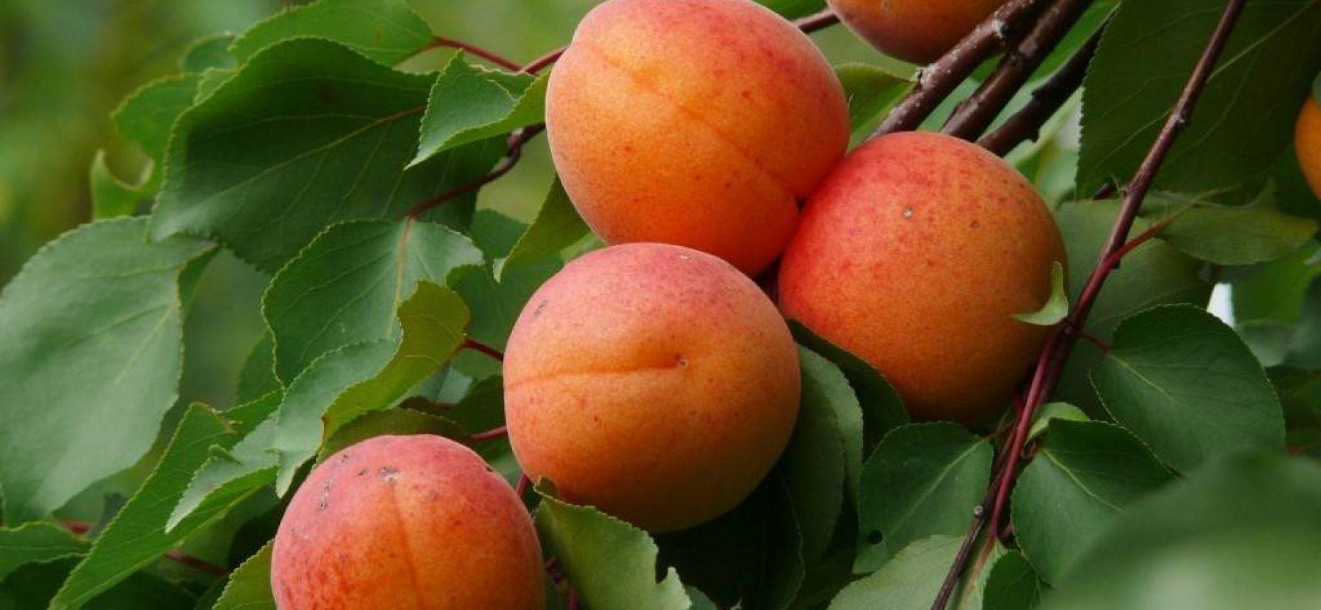 Армянские яблоки