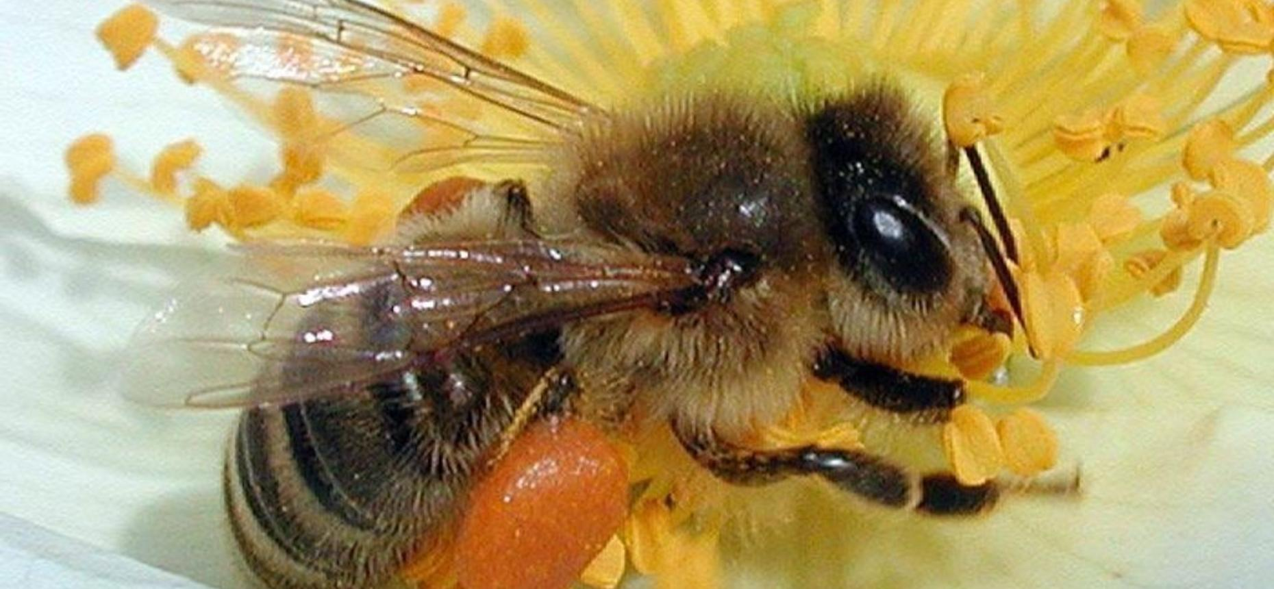 Особенности медоносной пчелы