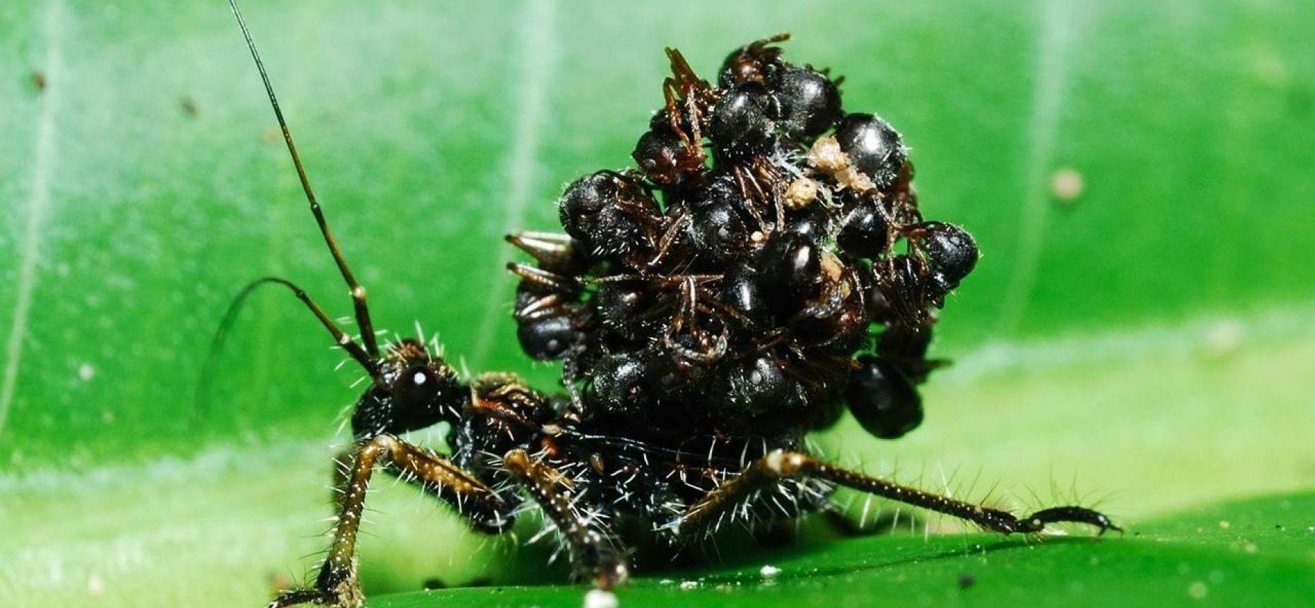 Клопы таскают на своей спине множество трупов муравьёв