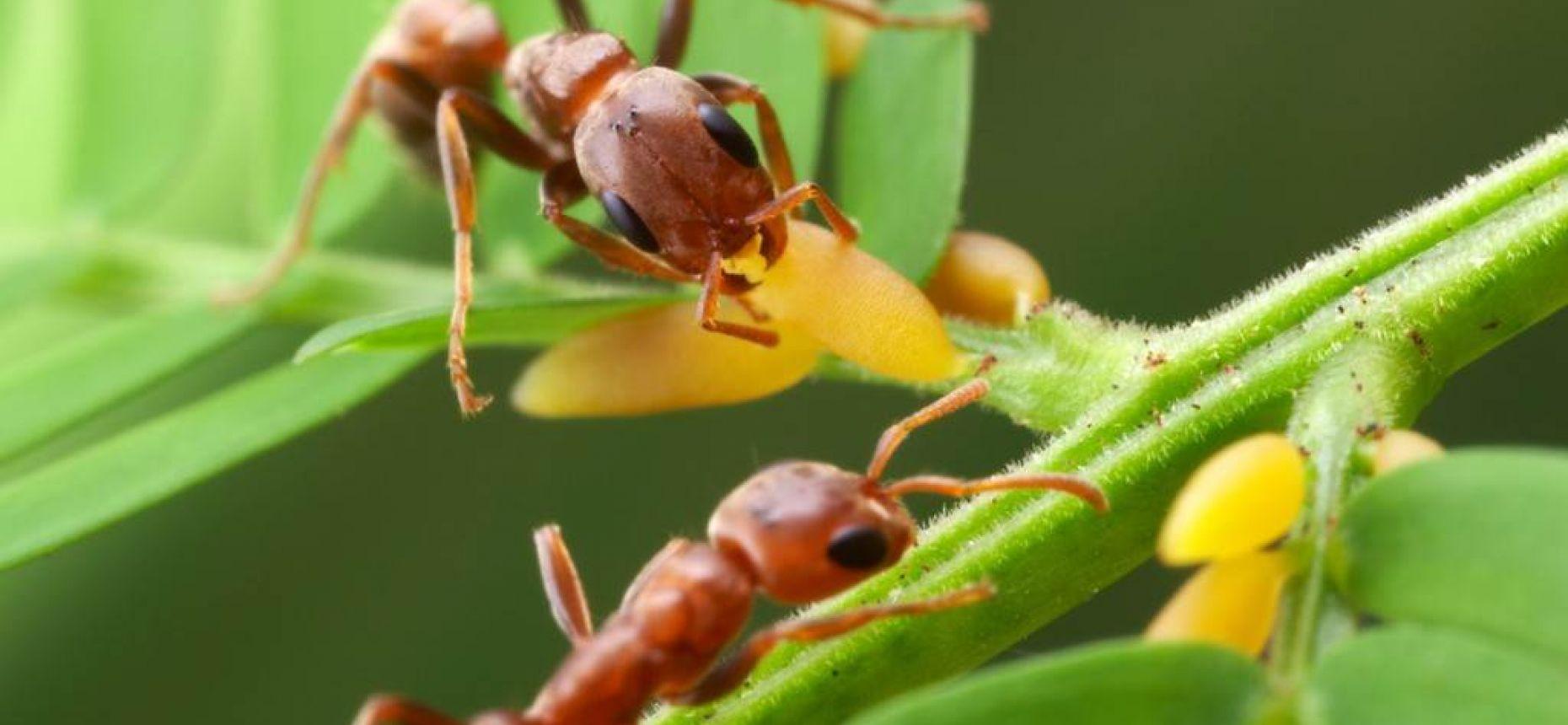 Муравьи образуют симбиоз с растениями